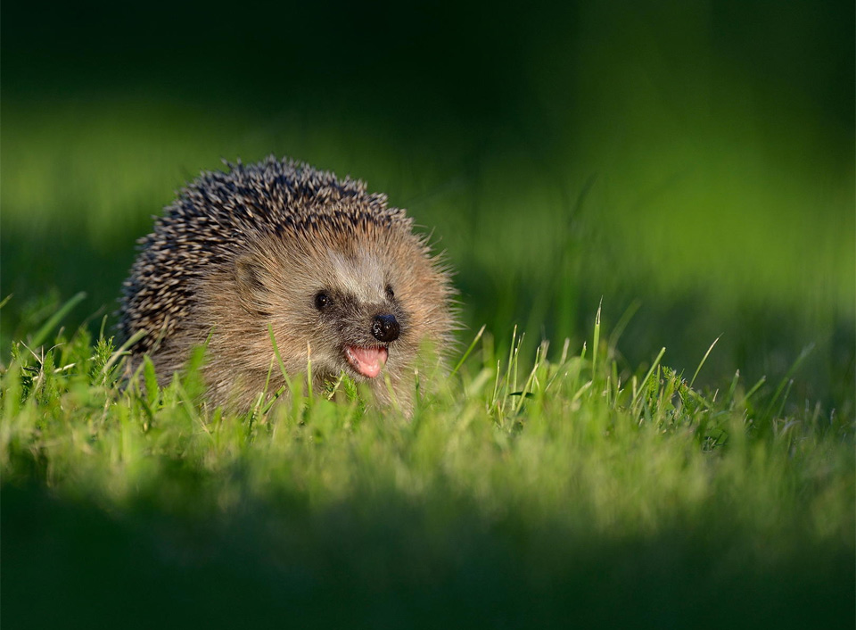 Hedgehog Smile