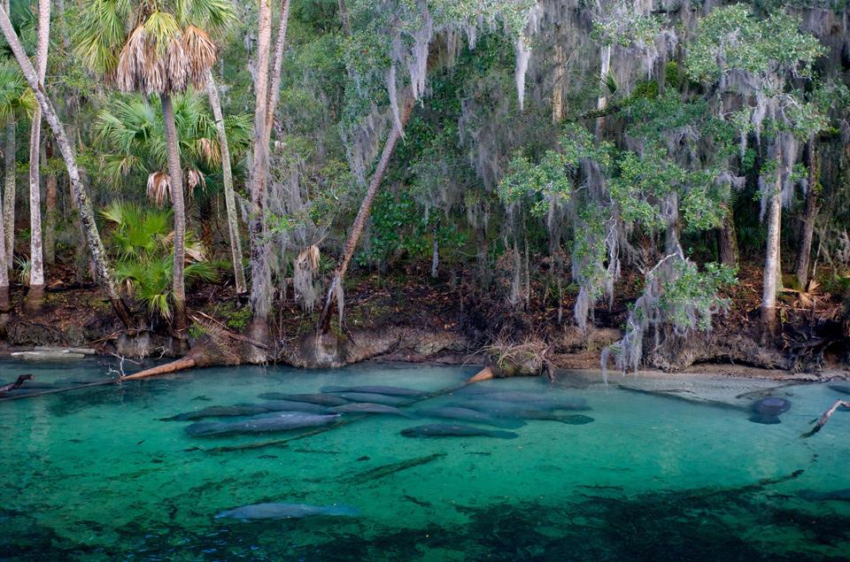 Manatees Of Crystal River, Florida