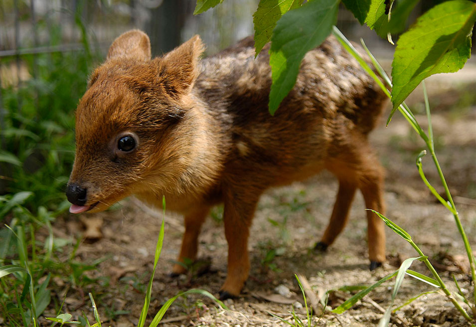 One Month Old Pudu, The World's Smallest Deer