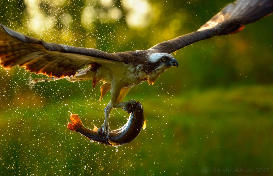An Eagle Catching Its Lunch