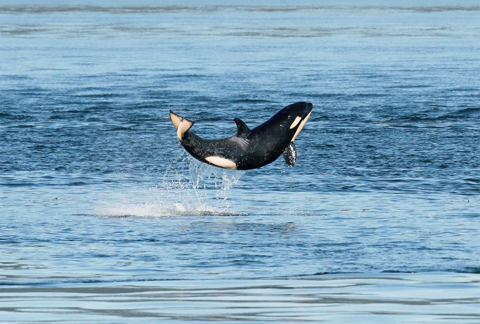 Happy Baby Killer Whale Breaches The Surface