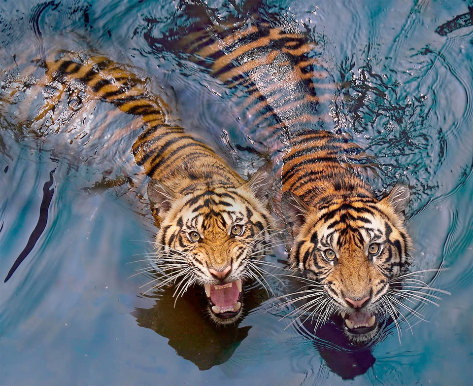 Couple Tigers Swimming
