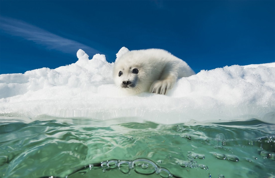 Baby Seal Scared Of Cold Water