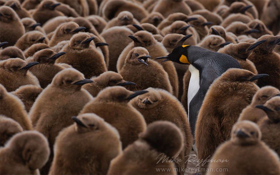 King Penguins Of South Georgia