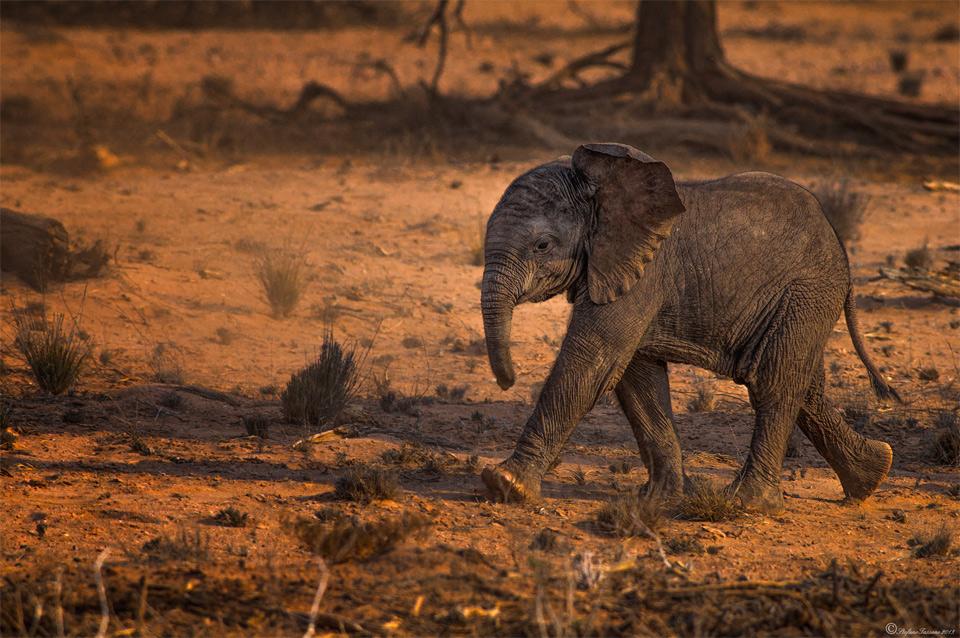 Cute Baby Desert Elephant