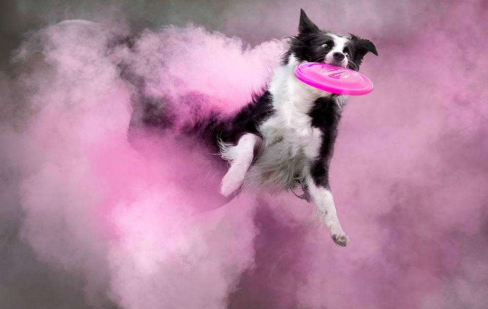Dog Jumps Through Cloud of Pink Powder