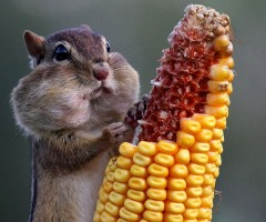 chipmunk eats corn