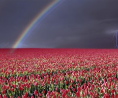 rainbow over tulip field