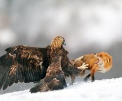 eagle attacks fox