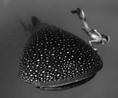 girl dives with whale shark