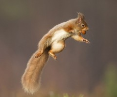 a red squirrel jumps