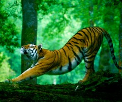stretching tiger