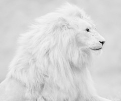 beautiful albino lion