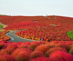 flower paradise, hitachi seaside park, japan