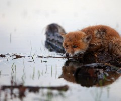 freezing cold and wet fox
