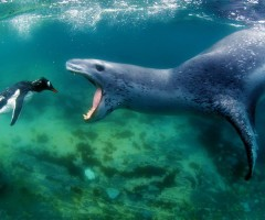 leopard seal goes for penguin