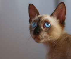 blue eyed cat