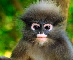 dusky leaf monkey, thailand