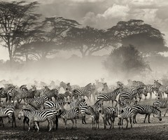 the beauty of the zebra herd