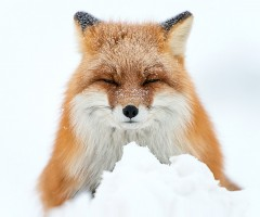fox sleeping in snow