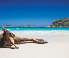kangaroo chilling on the beach