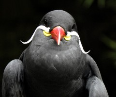 magnificent mustache bird