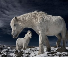 white wild horses, iceland