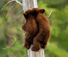 black bear cubs climbing a tree