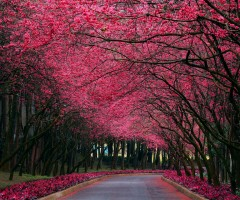 cherry blossom road