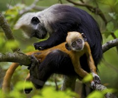 white headed langur grooms her baby