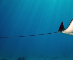 a long tail of stingray