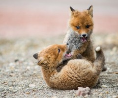 fox cubs play