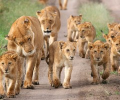 lion supermoms and cubs