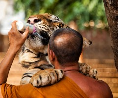 monk feeding a three year old tiger