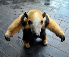tammy the tree climbing anteater
