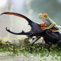 frog on the hercules beetle
