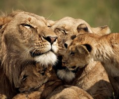 loving lion family