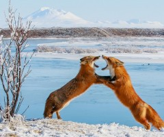 two foxes sparring in alaska