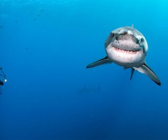 diver swimming around great white shark