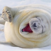 laughing white seal
