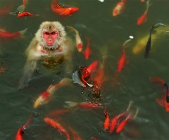 monkey plays with carp fish