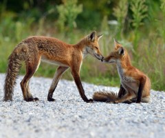 red fox bonding