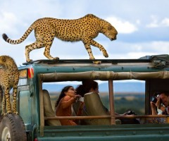 cheetahs on a safari truck