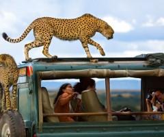 cheetahs on a safari truck