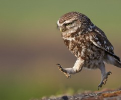 owl in the run