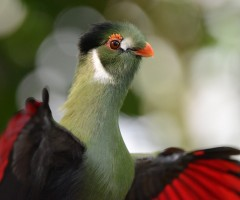 white cheeked turaco bird