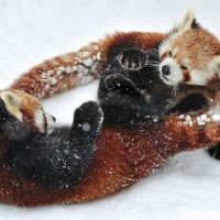 adorable red pandas playing in snow