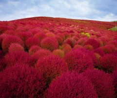 burning bush plants park, japan