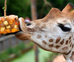 giraffe at london zoo celebrates birthday