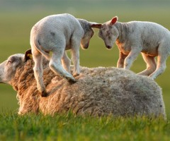 lambs playing on mother sheep